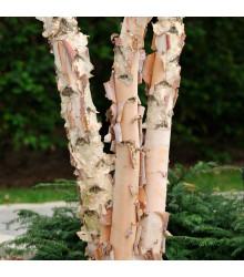 Bříza černá - prodej semen břízy - Betula nigra - 15 ks