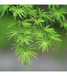 More about Pamodřín líbezný - Pseudolarix amabilis - prodej semen - 6 ks