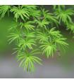 Pamodřín líbezný - Pseudolarix amabilis - prodej semen - 7 ks