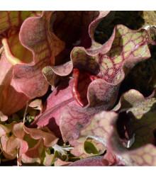 Špirlice růžová - masožravka Sarracenia rosea - prodej semen špirlice - 10 ks