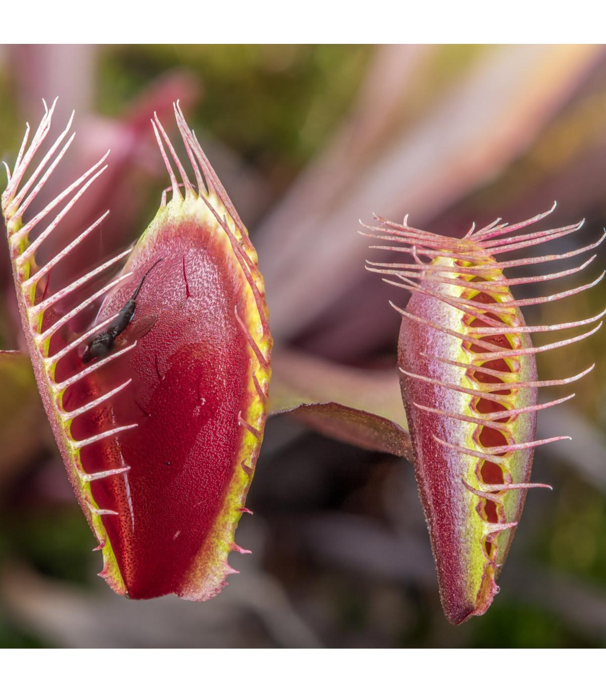 Mucholapka červená Redline  - Dionaea - semena - 10 ks