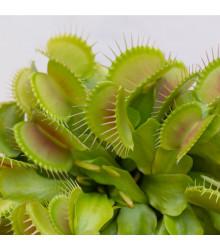 Mucholapka Charlie Mandon - Dionaea muscipula - semena - 7 ks
