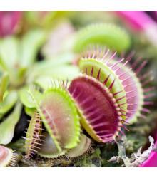 Mucholapka podivná - Dionaea muscipula - semena - 10 ks