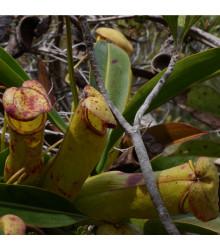 Láčkovka madagaskarská - Nepenthes madagascariensis - 10 Ks
