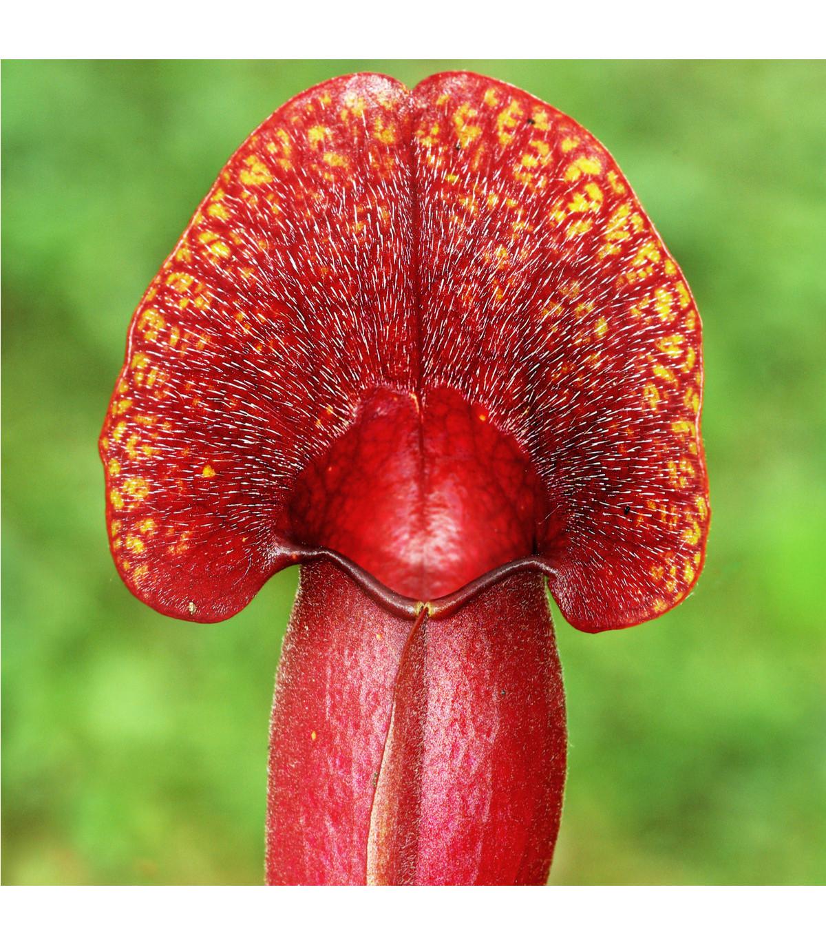 Špirlice nachová extra velká - Sarracenia purpurea - osivo špirlice - 12 ks