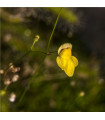 Bublinatka- Utricularia subulata- semena- 15 ks