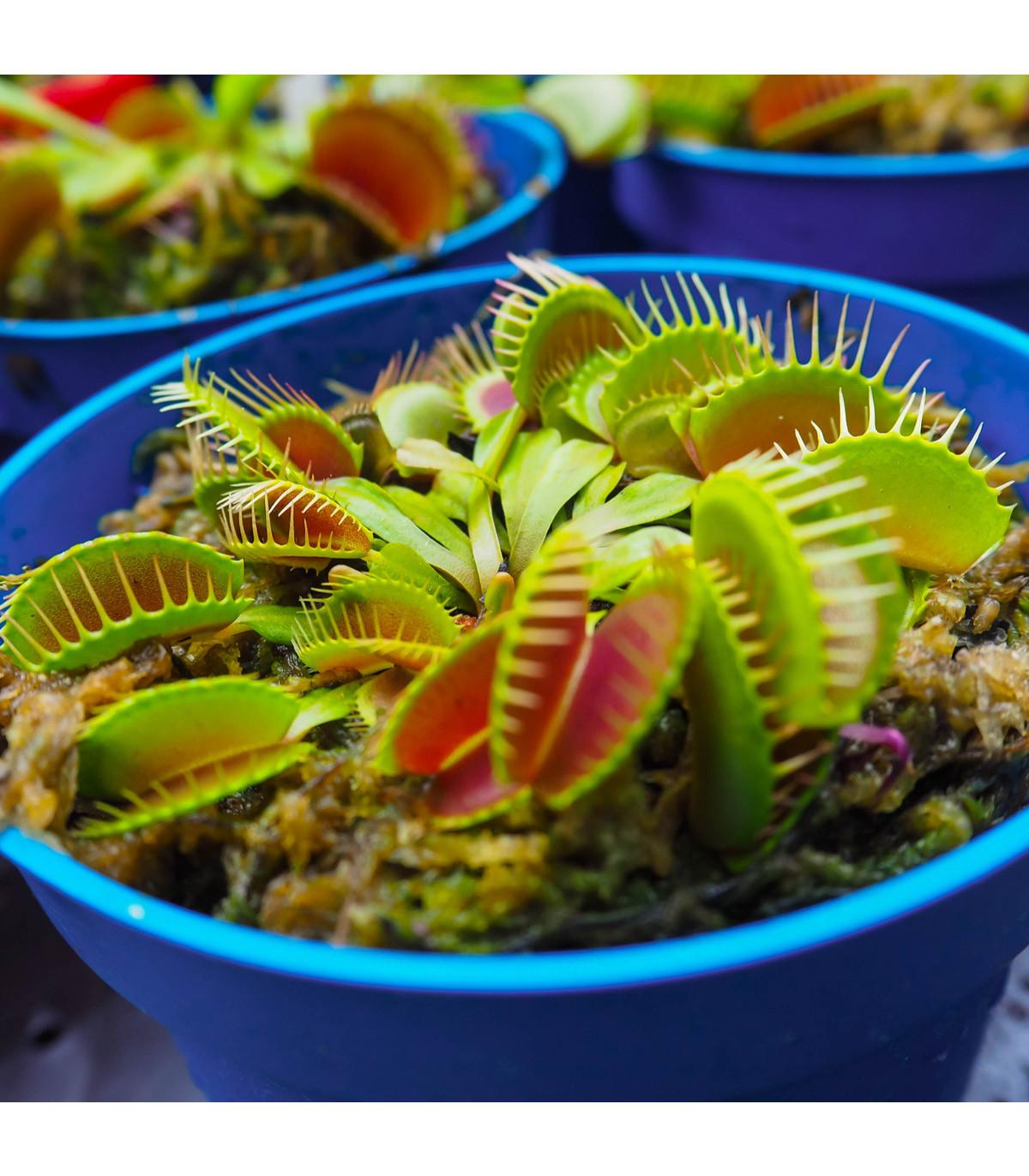Mucholapka muscipla clumping  - Dionaea - semena - 7 ks