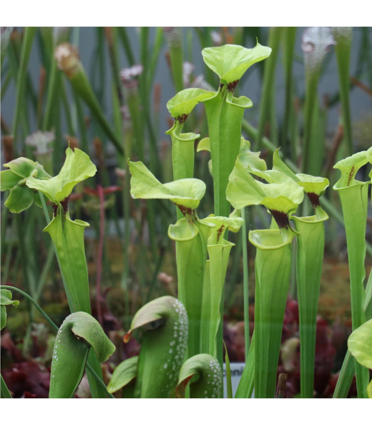 Špirlice bělolistá - Sarracenia leucophylla - osivo špirlice - 12 ks