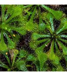 Rosnatka vláskatá - Drosera capillaris - semena - 10 ks