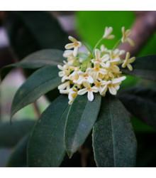 Olivovník libovonný - Osmanthus fragrans - prodej semen - 5 ks