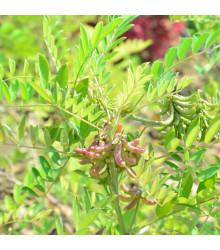 Indigovník barvířský - Indigofera tinctoria - prodej semen - 7 ks