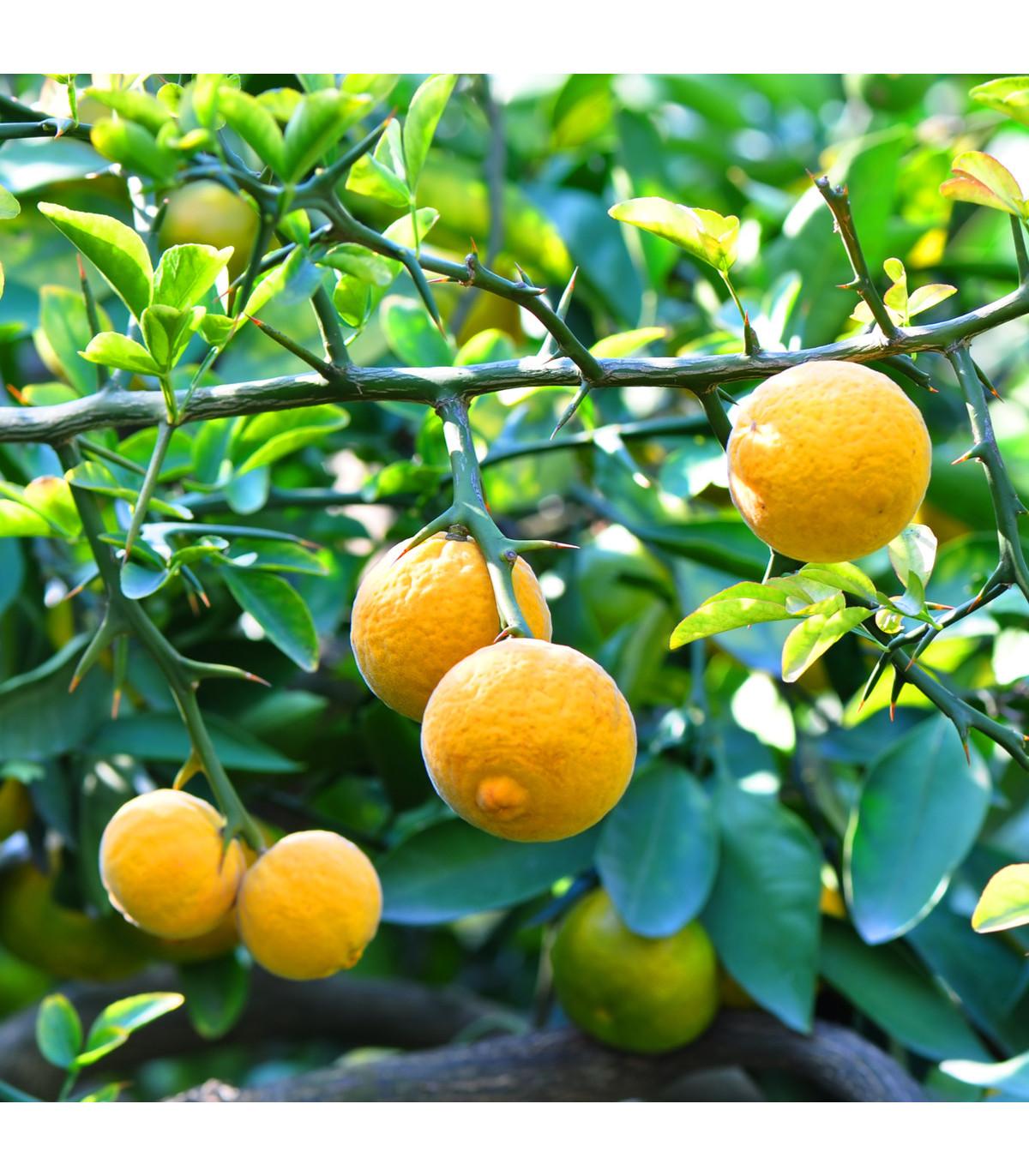 Citronečník trojlistý- Trifoliáta- Poncirus trifoliata- semena citronečníku- 4 ks