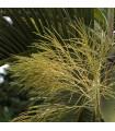 Palma lahvová- Hyophorbe lagenicaulis- semena palem- 3 ks