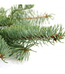 Smrk štětinatý - Smrk dračí - Picea asperata - semena smrku - 8 ks