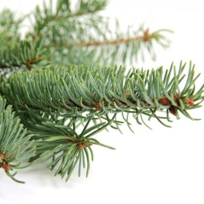 Smrk štštinatý- Picea asperata- semena smrku- 8 ks