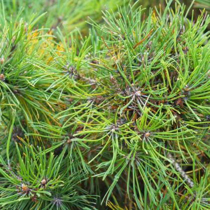 Borovice kleč - Pinus mugo mughus - prodej semen borovice - 5 ks