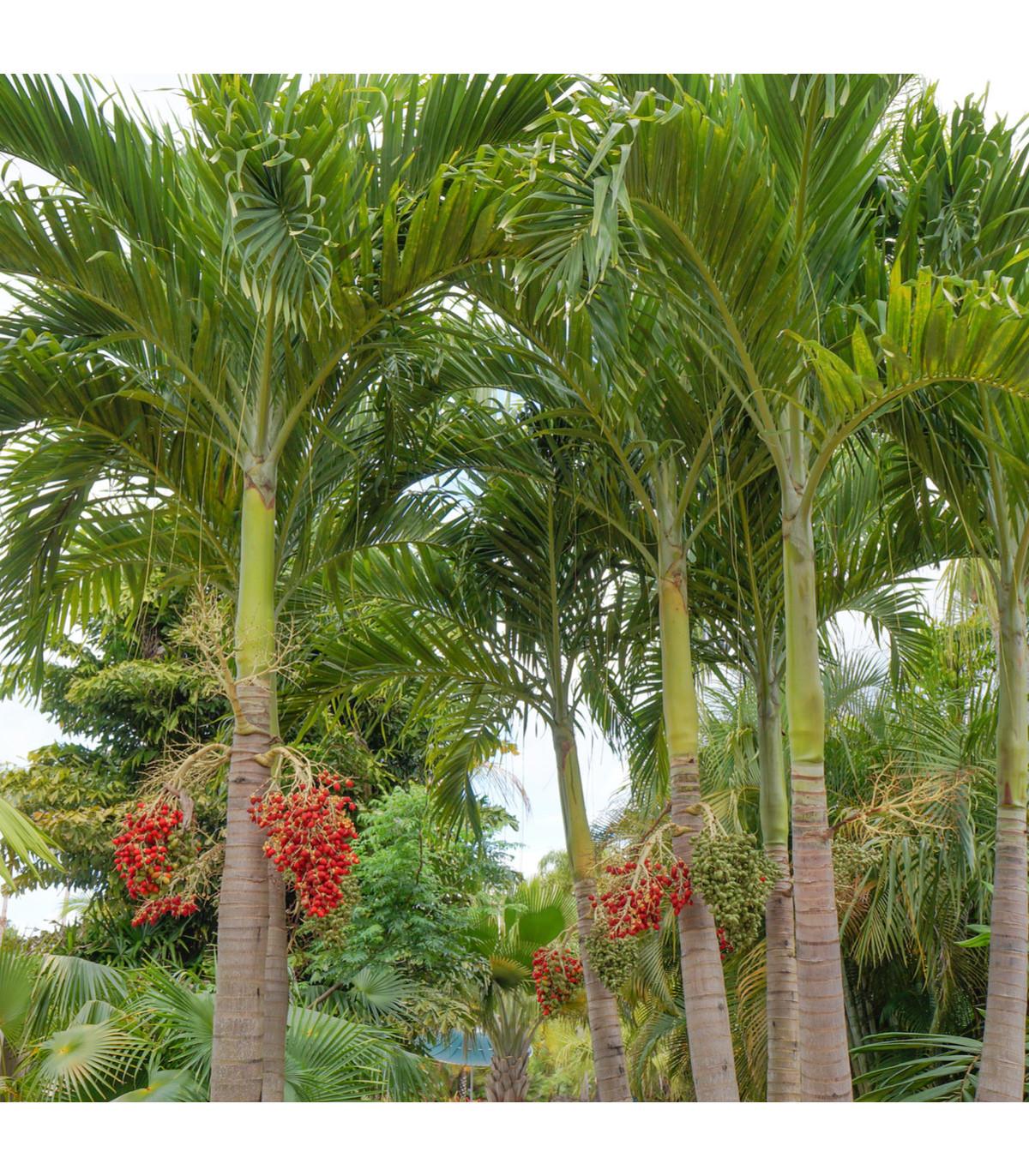 Palma vánoční - Adonidia merrillii - semena palem - 2 ks