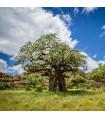 Baobab africký - semena baobabu - rostlina Adansonia digitata - 3 ks