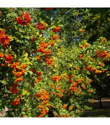 Hlohyně čínská - Pyracantha fortuneana - prodej semen hlohyně - 5 ks