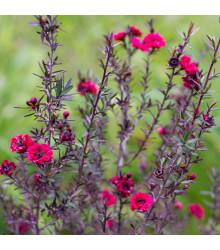 Balmín metlatý - Leptospermum scoparium - prodej semen - 10 ks
