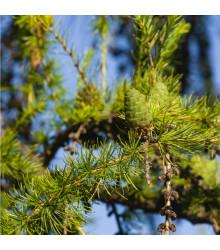 Modřín sibiřský - Larix sibirica - prodej semen - 10 ks