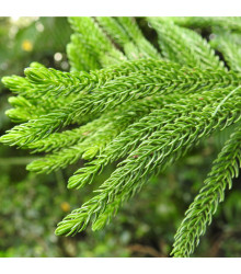 More about Kryptoméria japonská - Cryptomeria japonica - 4 ks