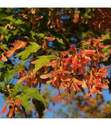 Javor ohnivý - Acer ginnala - semena Javoru - 5 ks