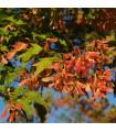 Javor ohnivý - Acer ginnula - semena Javoru - 5 ks