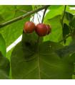 Rajčatový strom - Tamarillo - Cyphomandra betacea - 5 ks