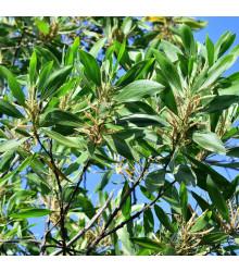 More about Akácie mangium - Acacia mangium - osivo akácie - 8 ks