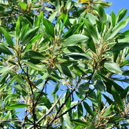 Akácie mangium- Acacia mangium- semena Akácie- 8 ks