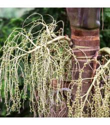 Palma královská - Archontophoenix cunninghamiana - osivo palmy - 3 ks