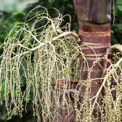 Palma královská- Palma ohnivá- Archontophoenix alexandrae- semena palmy- 3 ks