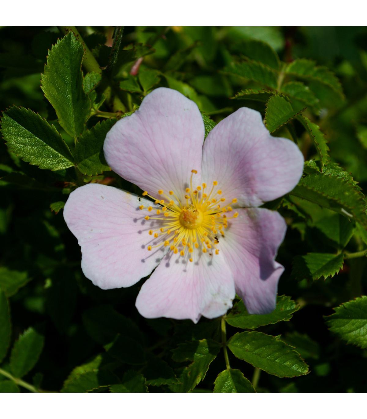 Růže šípková - Rosa canina - prodej semen růží - 5 ks