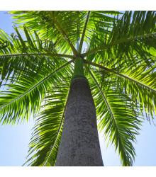 Palma královská kubánská - Roystonea regia - osivo palmy - 3 ks
