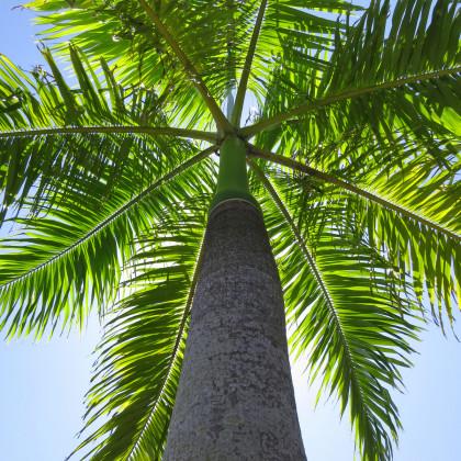 Palma královská kubánská  - Roystonea regia - prodej semen palem - 3 ks