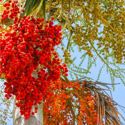 Palma Carpentaria acuminata - prodej semen - 4 ks