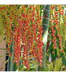 Palma - Ptychosperma elegans - osivo palmy - 3 ks