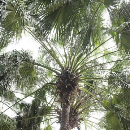 Palma čínská- semena- 3 ks