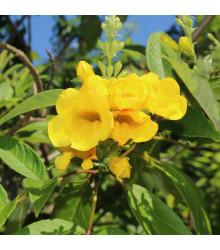 More about Protiha - Tecoma fulva - prodej semen - 10 ks