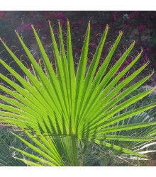 Palma trpaslíčí - rostlina Sabal minor - prodej semen palem - 3 ks