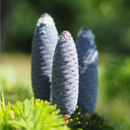 Jedle Pindrow- Abies Pindrow- semena Jedle- 8 ks