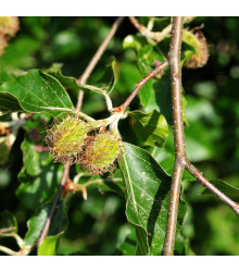 Buk lesní - rostlina Fagus sylvatica - prodej semen buku - 7 ks