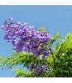 Žakaranda mimózolistá - Jacaranda mimosifolia - prodej semen - 6 ks