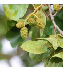 More about Olše šedá - rostlina Alnus incana - prodej semen stromů - 8 ks