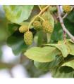 Olše šedá - rostlina Alnus incana - prodej semen stromů - 8 ks