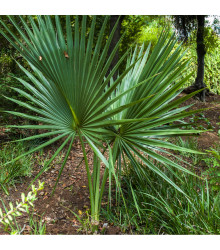 Palma - Washingtonia robusta - osivo palmy - 3 ks