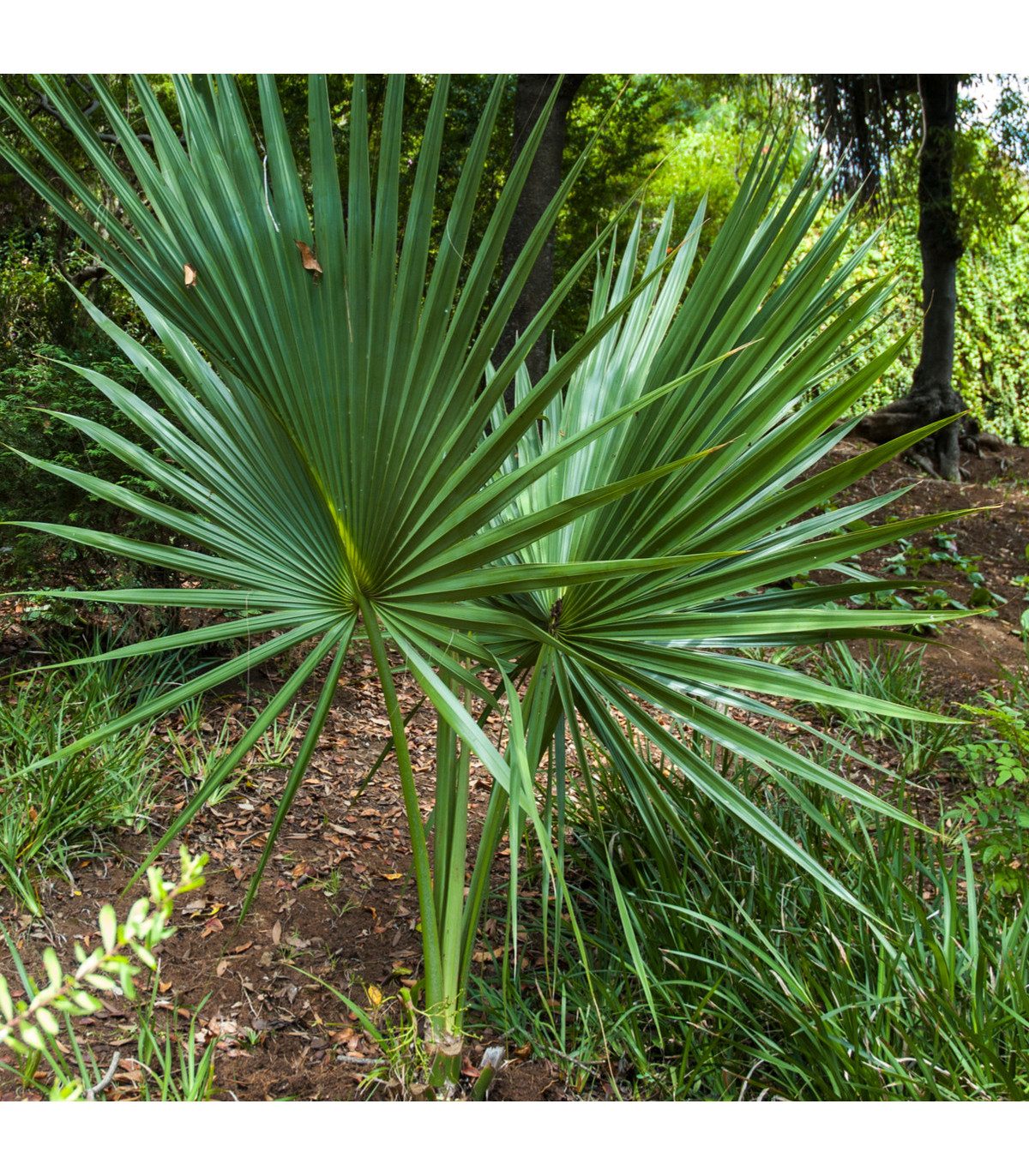 Palma Washingtonia robusta - prodej semínek - 3 ks