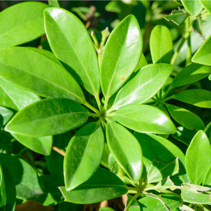Šeflera actinophylla - Schefflera actinophylla- semena - 6 ks