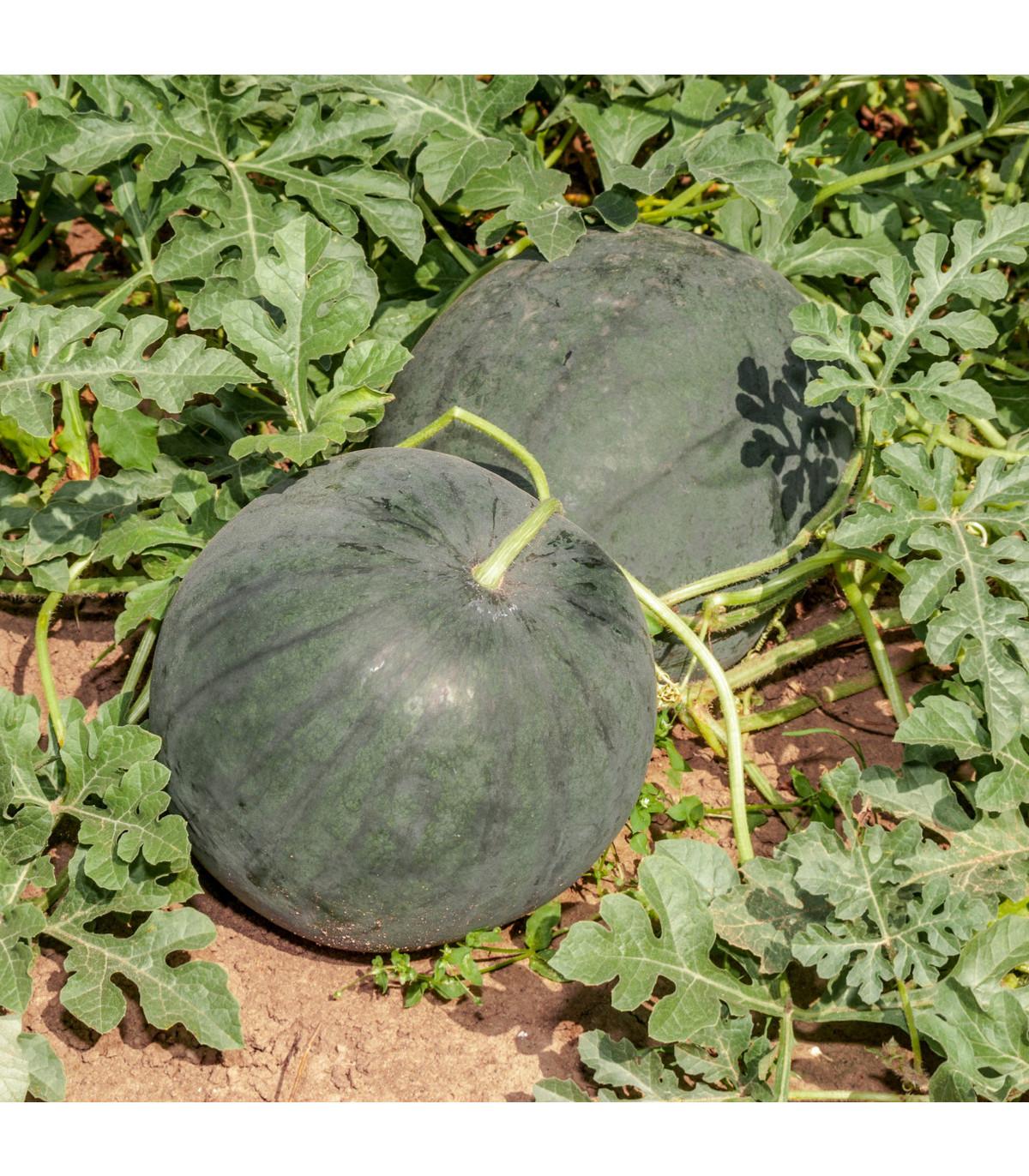 Vodní meloun Lajko F1 - Citrullus lanatus - osivo melounu - 5 ks